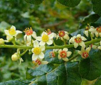 incienso-Boswellia-herbolario-latrementina